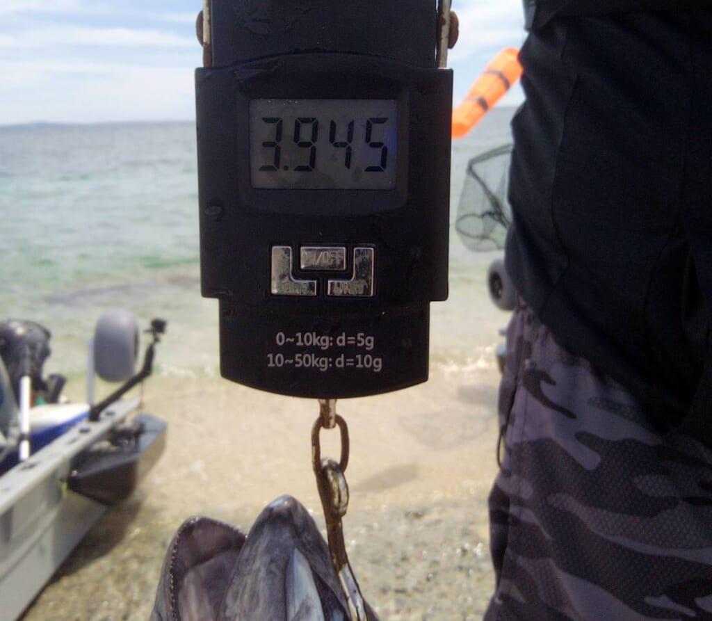 名護湾で4kg弱のメバチマグロ